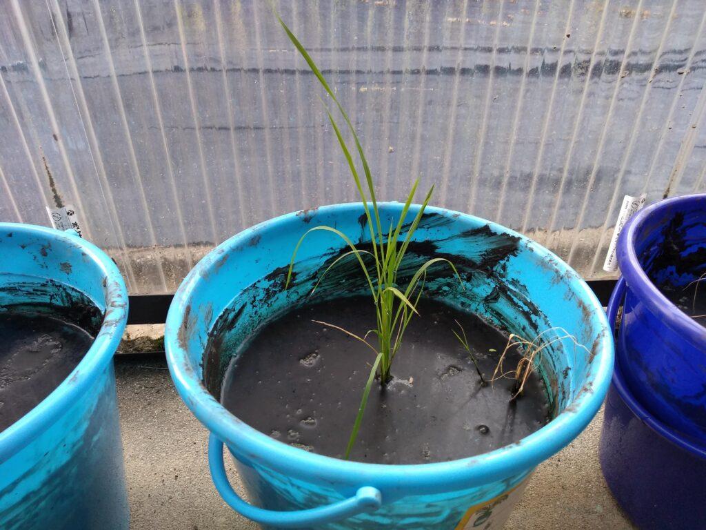 田んぼの工程を体験⑥今週のバケツ稲。おそらく順調に成長中!?
