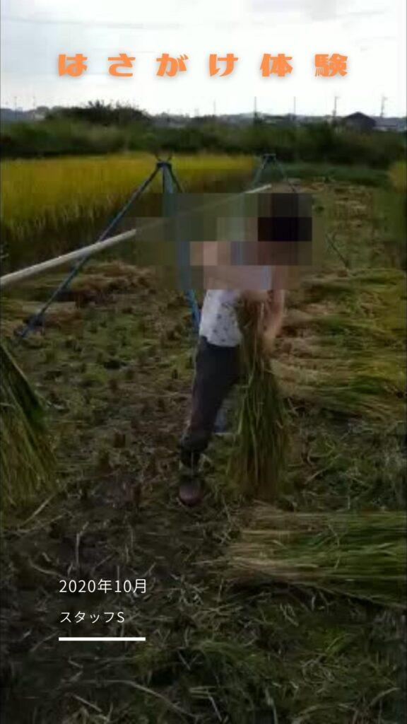 【スタッフ農業体験記】2年目のはさがけ