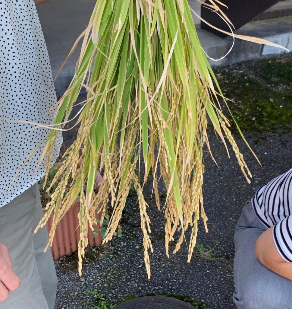 事務所で育てていたバケツ稲の収穫をおこないました🌾