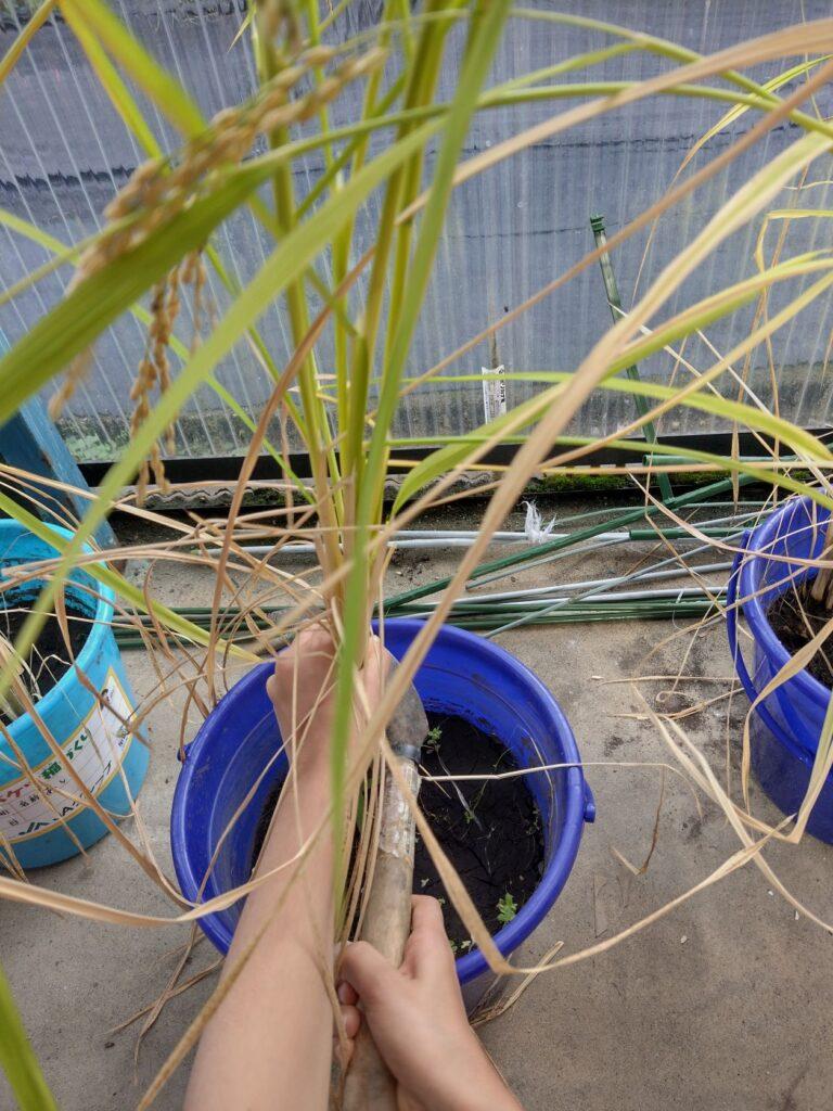 田んぼの工程を体験⑨秋の実り、稲刈りと脱穀
